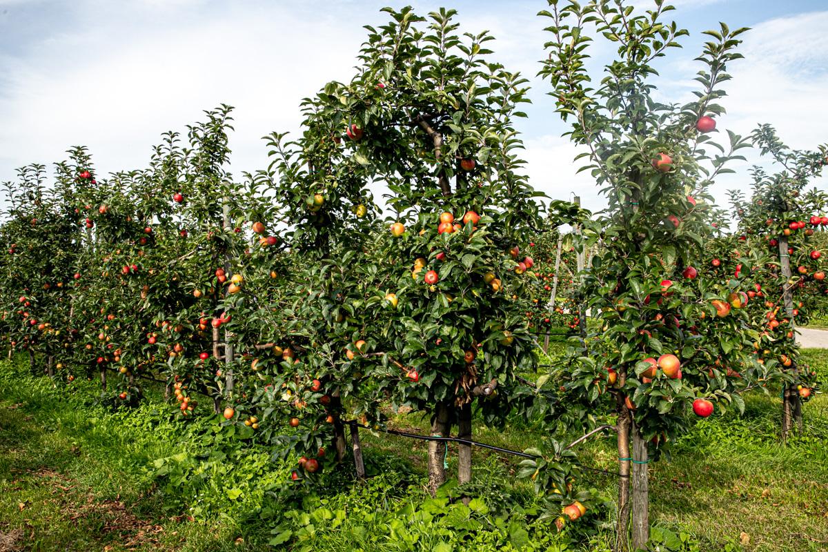 Saftige Apfelzimtschnecken - einfach und extrem lecker! #klassiker #hefeteig #blätterteig #schnell #rezepte